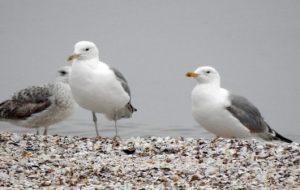 """Păsările, vectori de răspândire a """"superbacteriilor"""""""