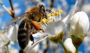 Veninul de albină, potențial tratament pentru cancerul de sân